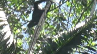 Black spider monkey release