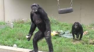 チンパンジー敬老の日にごちそう〜CommonChimpanzee