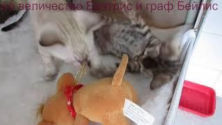 бенгальские котята       ее величество Беатрис и граф Бейлис
