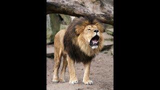 Львица воспитывает львенка. lion