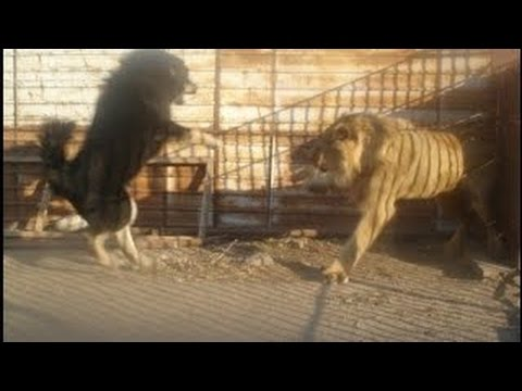 Dog Vs Lion,Dog Vs Lion Real Fight