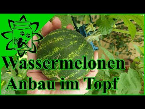 Wassermelonen Anbau im Topf | Mini Wassermelonen für den Balkon | Garteneinkochfee