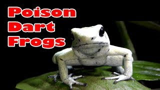 Poison Dart Frog - Phyllobates terribilis 'mint' - The  most toxic species of frog!