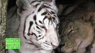 ライオンとホワイト・タイガー種を超えて、永遠の愛で深く結ばれる