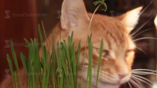 Red cat eats green shoots of oats