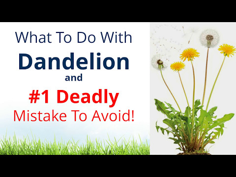 Video What to do with Dandelion & #1 Deadly Mistake to Avoid!