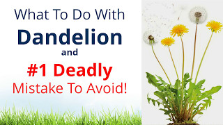 What To Do With Dandelion & #1 Deadly Mistake To Avoid!