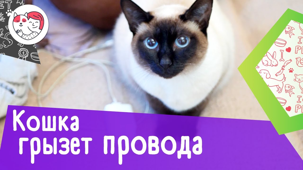 4 способа отучить кошку грызть провода