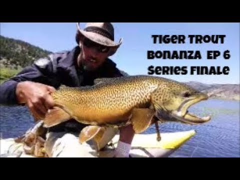 Tiger Trout Bonanza Episode 6