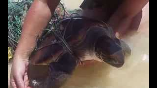 preview picture of video 'Turtle Rescue - Lanikai Hawaii - March 2015'