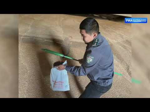 Управлением Россельхознадзора в Республике Калмыкия обнаружена некачественная партия продовольственной пшеницы