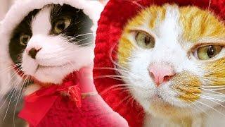 クリスマスの帽子を被った猫!!ハッチ&マック〜 大好きな猫缶に夢中♪ - Cats And The Holiday Christmas 2015 ! Cats Are The Family.
