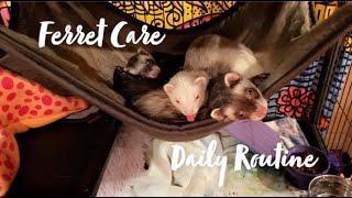 Ferret Care Daily Routine