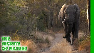 Elephants - Africa's Wild Wonders - The Secrets of Nature