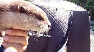 Today is the sauna day!!  Sneaking into the sauna tent! [Otter life Day 278]【カワウソアティとにゃん先輩】