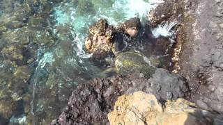 Maui Sea Turtle feeding on algae .