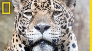 Saving Endangered Jaguars In Mexico, One Photo At A Time | National Geographic