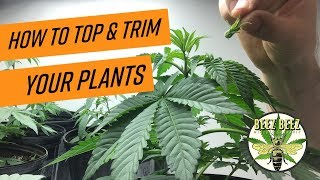 Topping & Trimming Plants in Early Veg Stage
