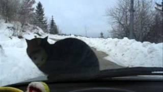 Кот на капоте