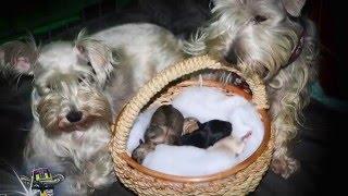 Miniature Schnauzer giving birth to 5 puppies
