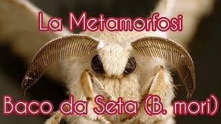 La Metamorfosi del Baco da Seta in 4K (Bombyx mori)