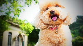 Cute Poodles 🐩😍 Cute Fluffy Dogs (Full) [Funny Pets]