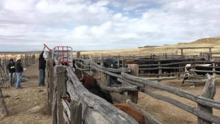 Branding Cattle using a Squeeze Chute