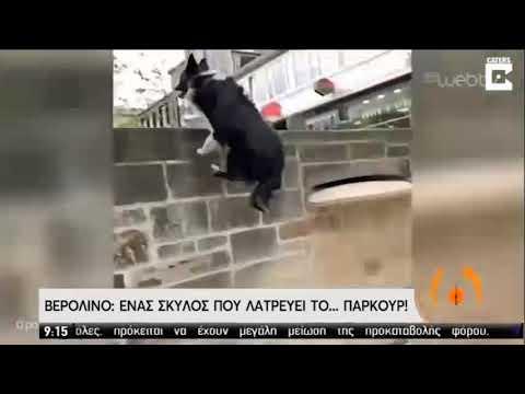 Σκυλάκος είναι άσσος στο Parkour και «σαρώνει» στο διαδίκτυο! | 26/05/2020 | ΕΡΤ