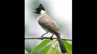 Gambar cover BURUNG KUTILANG MP3||Ini dia suara Kicau Burung Kutilang Paling Merdu||Sooty-headed bulbul