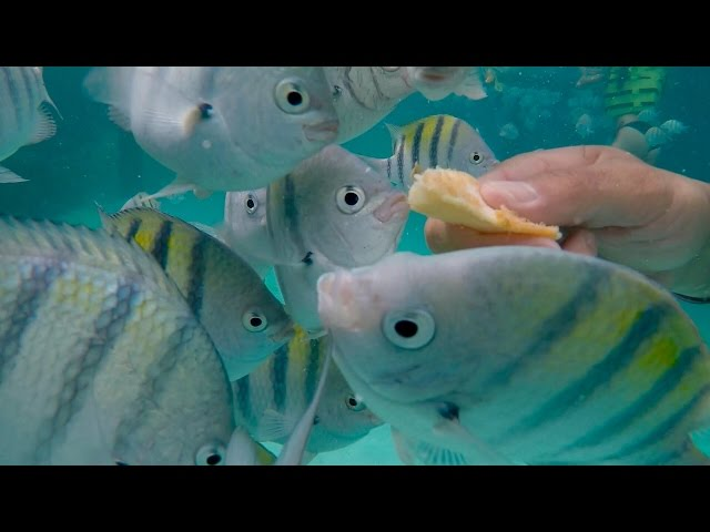 Hand-Feeding French Fries to Tropical Fish! Day in the Life on Paradise Island (Bahamas)