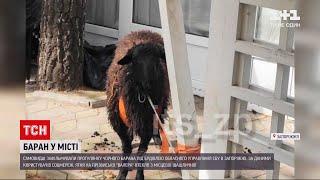 В Запорожье три недели не могут поймать барана Валеру, сбежавшего из шашлычной. ВИДЕО