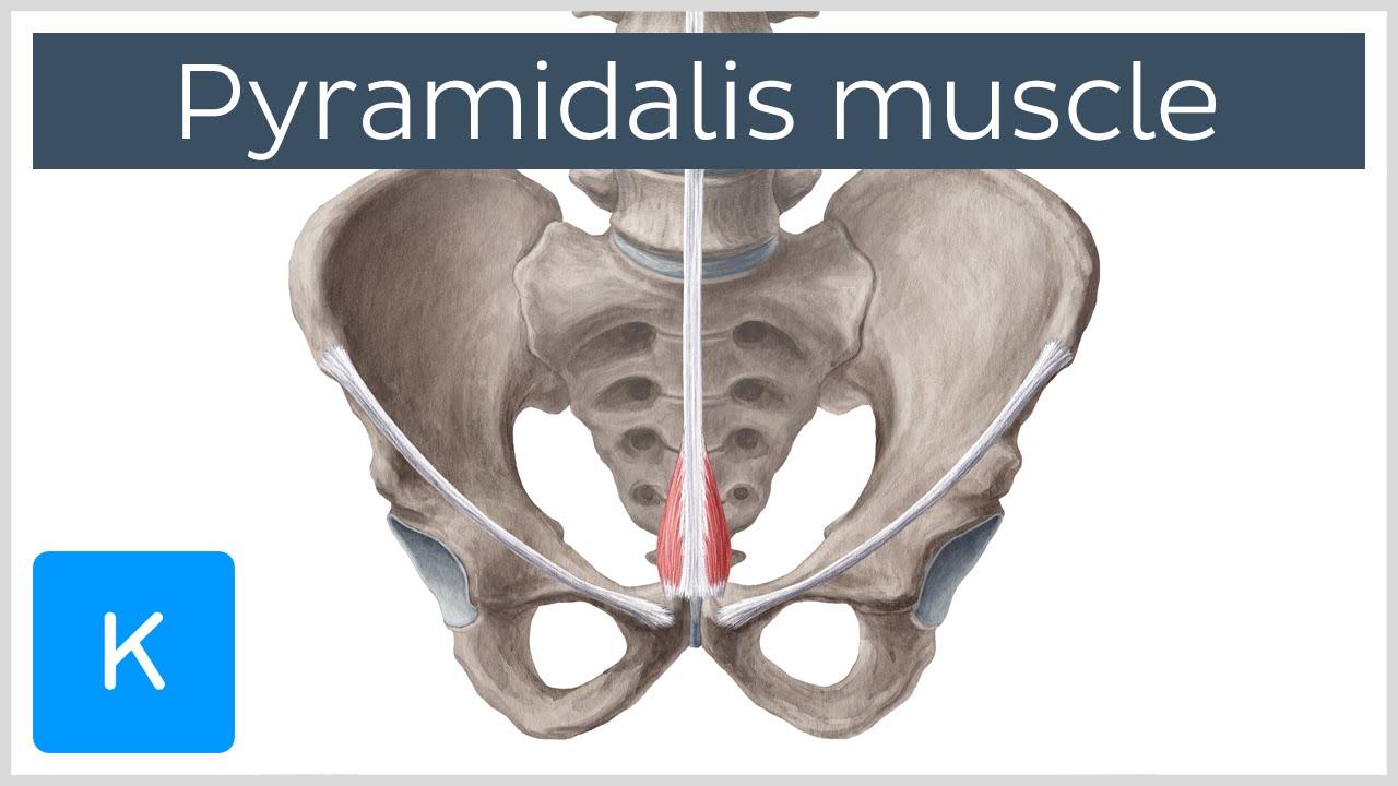 Video: Pyramidalis muscle