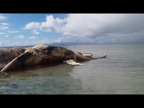 Ikan Misterius Terdampar Di Pantai Hulung Desa iha