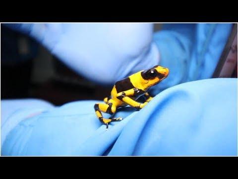 Detienen en Bogota a hombre con 424 ranas venenosas que planeaba sacar a Brasil