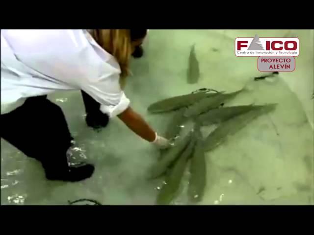 Sistema de clasificación de peces con malformaciones mediante Visión Artificial