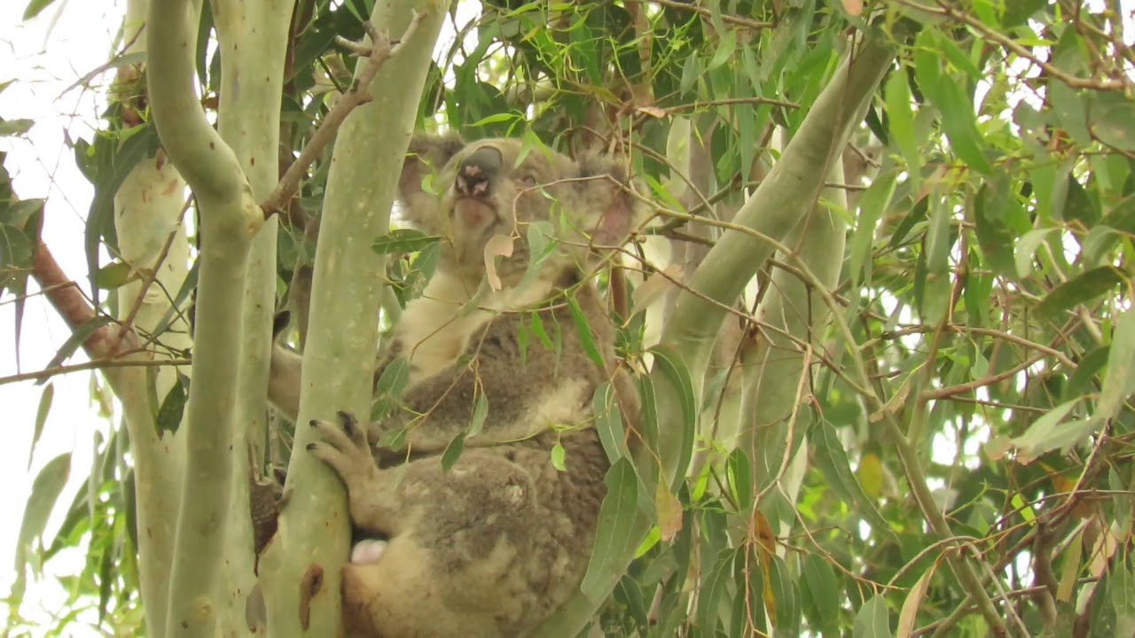 Tucker at Koala Gardens