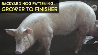 Backyard Hog Fattening: Grower to Finisher | Agribusiness  B-MEG Episode 3