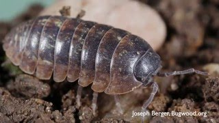How to Get Rid of Pillbugs - DIY Pest Control
