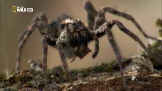 Смотреть онлайн Документальный фильм о пауках планеты