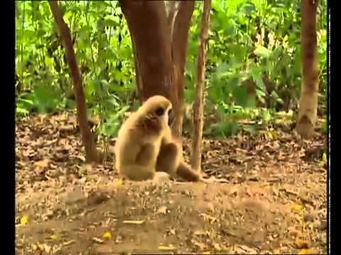 Hilarious Monkey Bullies Young Tigers