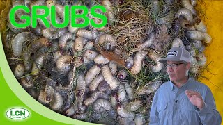 LAWN GRUBS//Grub Worms: How To Get Rid of Lawn Grubs