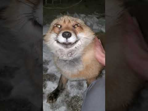What does the fox say? The fox: HEHEHEHEHEHEHEHE