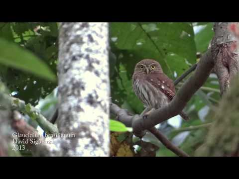 RE: Glaucidium brasilianum