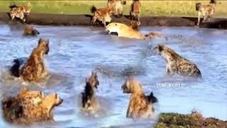 Animals Fight Powerful Lion vs Pack Of Hyenas