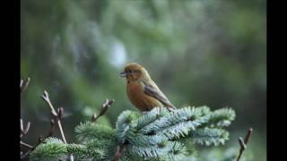 Canto degli uccelli della foresta, suoni rilassanti della natura. Binaural recording ASMR.