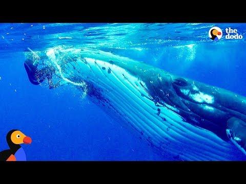 Φάλαινα προστατεύει δύτη από επίθεση καρχαρία