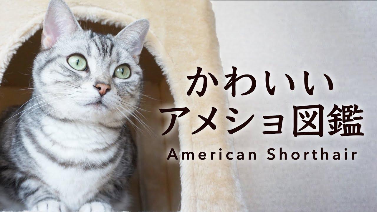 【にゃんこ図鑑】かわいいアメリカンショートヘアの世界✨
