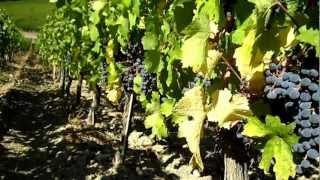 preview picture of video 'Wine Tour in Tuscany: Cabernet Sauvignon in the vineyard at Caiarossa in Maremma'