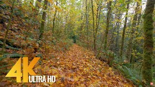 Autumn Forest Walk Trail - 4K UHD Fall Nature Walk Video with Music -  Episode 2