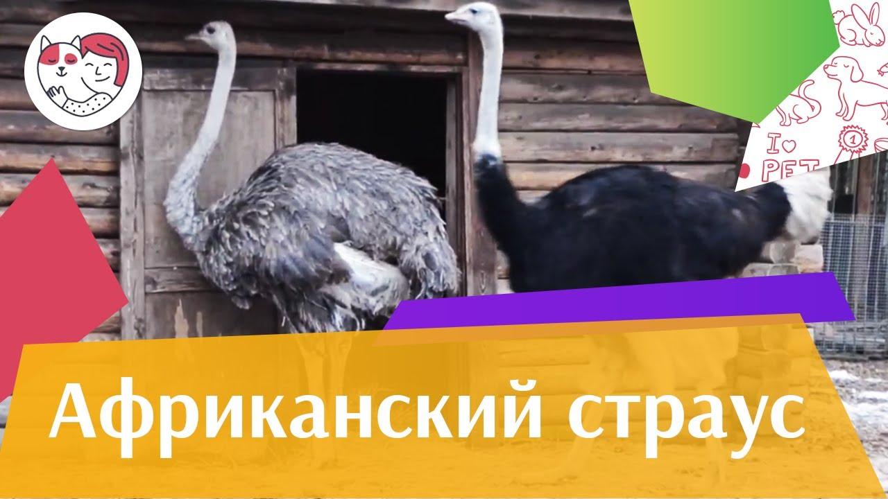 Африканский страус Гнездование на ilikepet